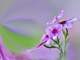 Close-Up of Drummond Phlox (Phlox Drummondii), Hilton Head Island, South Carolina, USA Photographic Print by Adam Jones