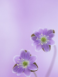 Hepatica Americana Flowers, Eastern USA Photographic Print by Wally Eberhart