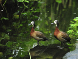 White-Faced Whistling Ducks (Dendrocygna Viduata), Masoala National Park, Madagascar Photographic Print by Thomas Marent