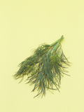 Dill a Popular Culinary Herb That Contains Impressive Amounts of Iron Photographic Print by Wally Eberhart