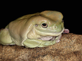 White's Tree Frog (Litoria Caerulea) Captive Photographic Print by Michael Kern