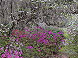 Flowering Dogwood Tree, Cornus Florida, and Azaleas in Full Bloom, Middlteton Place, South Carolina Fotografie-Druck von Adam Jones