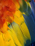 Scarlet Macaw Feather Pattern, Ara Macao Photographic Print by Adam Jones