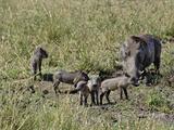 Desert Warthog with Babies, (Phacochoerus Aethiopicus), Masai Mara Game Reserve, Kenya, Africa Photographic Print by Adam Jones