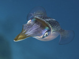 Caribbean Reef Squid (Sepioteuthis Sepioidea), Caribbean Photographic Print by David Fleetham