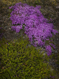 Creeping Thyme (Thymus Praecox Arcticus) Photographic Print by Don Grall