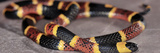 Eastern Coral Snake (Micrurus Fulvius), Captive Photographic Print by Michael Kern