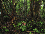 Tropical Rainforest with Numerous Lianas or Vines in Masoala National Park, Madagascar Photographic Print by Thomas Marent