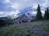 Bistort and Lupine Flowers in a Meadow and Distant Mt Rainier, Mt Rainier National Park, Washington Photographic Print by Adam Jones