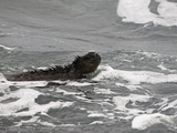 Marine Iguana (Amblyrhynchus Cristatus) Swimming in the Surf, Santa Cruz Island, Galapagos Photographic Print by David Fleetham