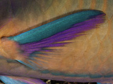 Close Up of the Pectoral Fin of a Male Black-Veined Parrotfish (Scarus Rubroviolaceus) Photographic Print by David Fleetham
