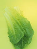 Romaine Lettuce (Lactuca Sativa) Photographic Print by Wally Eberhart