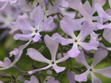 Wild Blue Phlox, Phlox Divaricata, Great Smoky Mountains National Park Photographic Print by Adam Jones