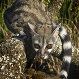 The Large-Spotted Genet (Genetta Tigrina) Is Found in Africa, Captive Photographic Print by Michael Kern