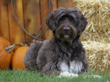 Portuguese Water Dog Photographic Print by Cheryl Ertelt