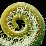 Squash Tendril, a Modified and Specialized Leaf Used to Attach the Plant to an Object for Support Photographic Print by Richard Kessel
