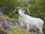Dall Sheep Ram (Ovis Dalli), Denali National Park, Alaska, USA Photographic Print by Patrick Endres