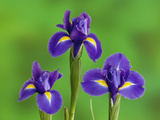 Iris Flowers Photographic Print by Adam Jones