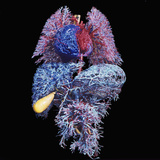 Major Organs of the Human Body Resin Cast of the Blood Vessels of the Lungs (Top) Heart Photographic Print by Ralph Hutchings