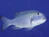 Bigeye Bream Swimming (Monotaxis Grandoculis), Hawaii, USA Photographic Print by David Fleetham