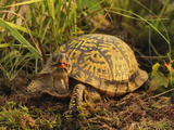 Eastern Box Turtle, Terrapene Carolina Carolina, Michigan Photographic Print by Adam Jones