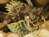 The Hawaiian or Barber's Lionfish (Dendrochirus Barberi), Endemic to Hawaii, USA Photographic Print by David Fleetham
