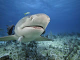 Lemon Shark (Negaprion Brevirostris) with Remoras, Bahamas, Atlantic Ocean Photographic Print by David Fleetham