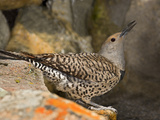 Female Northern Flicker (Colaptes Auratus) Taking a Sip of Water from Pond Photographic Print by Don Grall
