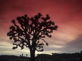 Joshua Tree Silhouetted at Sunset, Yucca Brevifolia, Joshua Tree National Park, Mojave Desert Photographic Print by Adam Jones