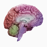 A Mid-Sagittal Section Showing the Left Half of the Human Brain, Brainstem, Midbrain Photographie par Ralph Hutchings