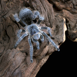 White-Collared Tarantula (Eupalaestrus Weijenberghi), Captive Photographic Print by Michael Kern