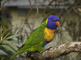 The Rainbow Lorikeet (Trichoglossus Haematodus) Photographic Print by David Fleetham