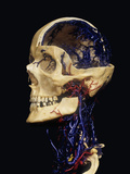 Human Skull with Resin Cast Showing Neck Blood Vessels Photographic Print by Ralph Hutchings