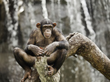 Chimpanzee (Pan Troglodytes), Guangzhou Zoo, Guangdong, China Photographic Print by David Fleetham