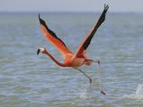 American Flamingo (Phoeniconais Ruber Ruber), Rio Lagartos Reserve, Yucatan, Mexico Photographic Print by Thomas Marent