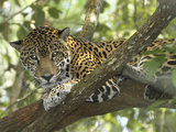 Jaguar in a Tree (Panthera Onca), Belize Reproduction photographique par Thomas Marent