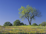 Mesquite Tree Among Low Bladderpod, Paintbrush, and Bluebonnet Spring Wildflowers, Hill Country Photographic Print by Adam Jones