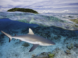 Split Image of a Gray Reef Shark (Carcharhinus Amblyrhynchos) Off Malolo Island, Fiji Photographic Print by David Fleetham