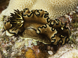 Black Margin Nudibranch (Glossodoris Atromarginata), Indo-Pacific Ocean Fotografie-Druck von David Fleetham