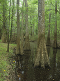 Bald Cypress Trees with Buttress Roots Photographic Print by Adam Jones