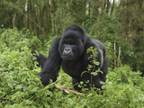 Silverback Mountain Gorilla Walking (Gorilla Beringei Beringei), Volcanoes National Park, Rwanda Photographic Print by Thomas Marent