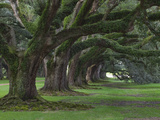 Live Oaks, Quercus Virginiana, Oak Alley Plantation, Vacherie, Louisiana Photographic Print by Adam Jones