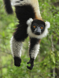 Black-And-White Ruffed Lemur Hanging from a Branch by its Tail Photographic Print by Thomas Marent