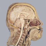 The Human Head and Brain in Sagittal Section, Revealing the Position of the Brain, Brain Stem Photographic Print by Ralph Hutchings