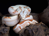 Albino Red-Tail Boa Constrictor (Boa Constrictor Constrictor), Captive, South America Photographic Print by Michael Kern