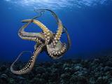 Day Octopus (Octopus Cyanea), Hawaii, USA Fotoprint van David Fleetham