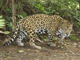 Jaguar Walking (Panthera Onca), Belize Photographic Print by Thomas Marent