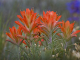 Indian Paintbrush (Castilleja), Sangre De Cristo Mountains, Colorado, USA Photographie par Don Grall