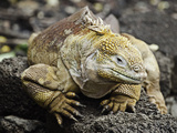 The Galapagos Land Iguana (Conolophus Subcristatus) Is Endemic to the Galapagos Islands, Photographic Print by David Fleetham