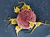 T Cell with Associated Platelets, SEM Photographic Print by Stanley Flegler